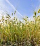 Espiga del trigo en campo de maíz Imagen de archivo libre de regalías