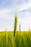 Espiga del trigo en un fondo de un campo verde y de un cielo azul Imagen de archivo
