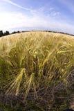 Espiga do trigo Imagem de Stock