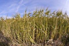 Espiga do trigo Foto de Stock