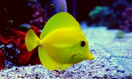 Espiga dos flavescens de Zebrasoma Imagem de Stock