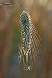 A espiga e a aranha de milho Fotografia de Stock