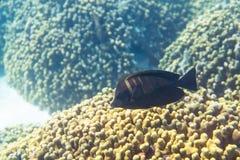 Espiga indiana do sailfin do ` s de Desjardin Imagens de Stock Royalty Free