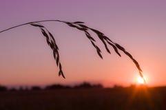 Espiga no por do sol Fotos de Stock