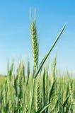 Espiga verde del trigo Fotografía de archivo libre de regalías