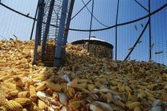 Espigas de milho Imagem de Stock Royalty Free
