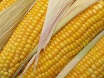 Espigas de milho Fotos de Stock