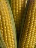 Espigas de milho Imagens de Stock Royalty Free