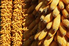 Espigas de milho Fotografia de Stock Royalty Free