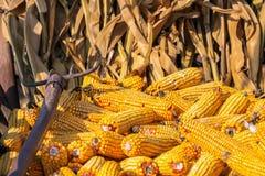 Espigas de milho amarelas Imagens de Stock Royalty Free