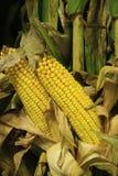 Espigas de milho amarelas na exposição justa das hastes verdes Imagens de Stock Royalty Free