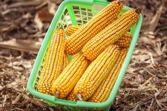 Espigas de milho em uma cesta Imagens de Stock Royalty Free
