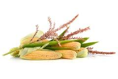 Espigas de milho maduras Fotos de Stock