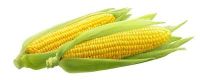 Espigas de milho ou orelhas de milho isoladas no fundo branco Imagem de Stock Royalty Free