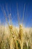 Espigas de trigo Foto de archivo libre de regalías