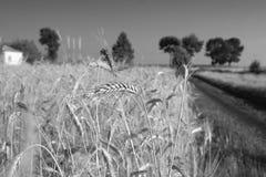 Espigas de trigo imágenes de archivo libres de regalías