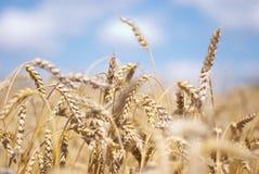 Espigas de trigo Imagen de archivo
