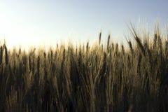 Espigas de trigo Imagen de archivo libre de regalías