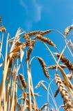 Espigas de trigo del trigo Fotos de archivo