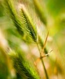Espigas de trigo en hierba verde en naturaleza Imagen de archivo