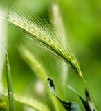 Espigas de trigo en hierba verde en naturaleza Fotografía de archivo
