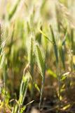 Espigas de trigo en la hierba Foto de archivo libre de regalías