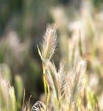 Espigas de trigo en la hierba Fotografía de archivo