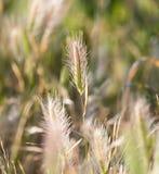 Espigas de trigo en la hierba Imágenes de archivo libres de regalías