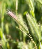Espigas de trigo en la hierba verde Fotografía de archivo