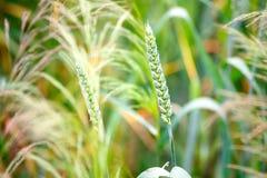 Espigas de trigo en un campo Imagenes de archivo
