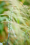 Espigas de trigo en un campo Fotografía de archivo libre de regalías