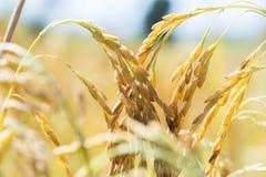 Espigas de trigo en un campo Imagen de archivo libre de regalías