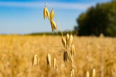 Espigas de trigo en un campo y un cielo Imagen de archivo