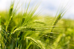 Espigas de trigo verdes del campo Fotos de archivo libres de regalías