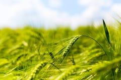 Espigas de trigo verdes del campo Imagenes de archivo