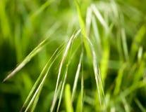 Espigas de trigo verdes en la hierba en la naturaleza Imagen de archivo