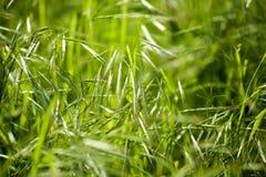 Espigas de trigo verdes en la hierba en la naturaleza Imagenes de archivo