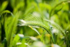 Espigas de trigo verdes en la hierba en la naturaleza Imágenes de archivo libres de regalías