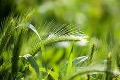 Espigas de trigo verdes en la hierba en la naturaleza Fotos de archivo libres de regalías