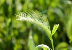 Espigas de trigo verdes en la hierba en la naturaleza Imagen de archivo libre de regalías