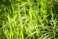 Espigas de trigo verdes en la hierba en la naturaleza Foto de archivo libre de regalías
