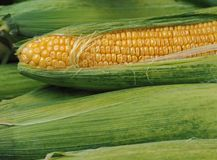 Espigas frescas de la cosecha de trigo otro abierto en backgr verde de las hojas Fotografía de archivo libre de regalías
