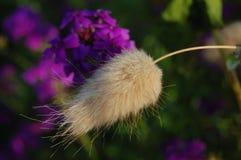 Espiguilla de la hierba Foto de archivo libre de regalías