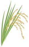 Espiguilla del arroz en un fondo blanco. Fotografía de archivo libre de regalías