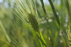 Espiguilla verde inmadura fresca del trigo fotografía de archivo libre de regalías