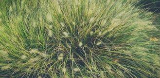 Espiguillas amarillas y verdes secas, hierba verde en el fondo imagenes de archivo