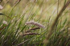 Espiguillas claras brillantes en la luz del sol de la mañana en el fondo de un campo del verano de hierbas salvajes Foco suave fotografía de archivo libre de regalías