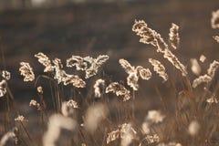 Espiguillas de la hierba seca del ` s del año pasado en el bosque de abril de la primavera en la puesta del sol Luz del sol retro Imágenes de archivo libres de regalías