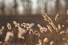 Espiguillas de la hierba seca del ` s del año pasado en el bosque de abril de la primavera en la puesta del sol Luz del sol retro Imagen de archivo