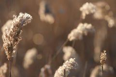 Espiguillas de la hierba seca del ` s del año pasado en el bosque de abril de la primavera en la puesta del sol Luz del sol retro Fotografía de archivo libre de regalías
